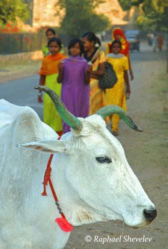 Cow and Schoolgirls