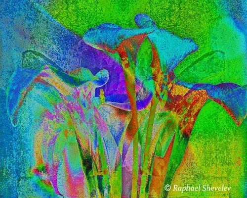 Mission Blue Lilies