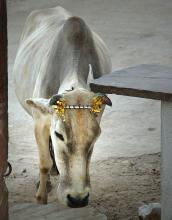 Indian cow in Rajasthan town of Eklingji photograph by Raphael Shevelev