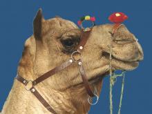 Camel portrait Pushkar Camel Fair Rajasthan photograph by Raphael Shevelev